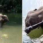 Pregnant Elephants