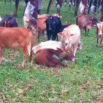 anti cow slaughter - Kerala9.com